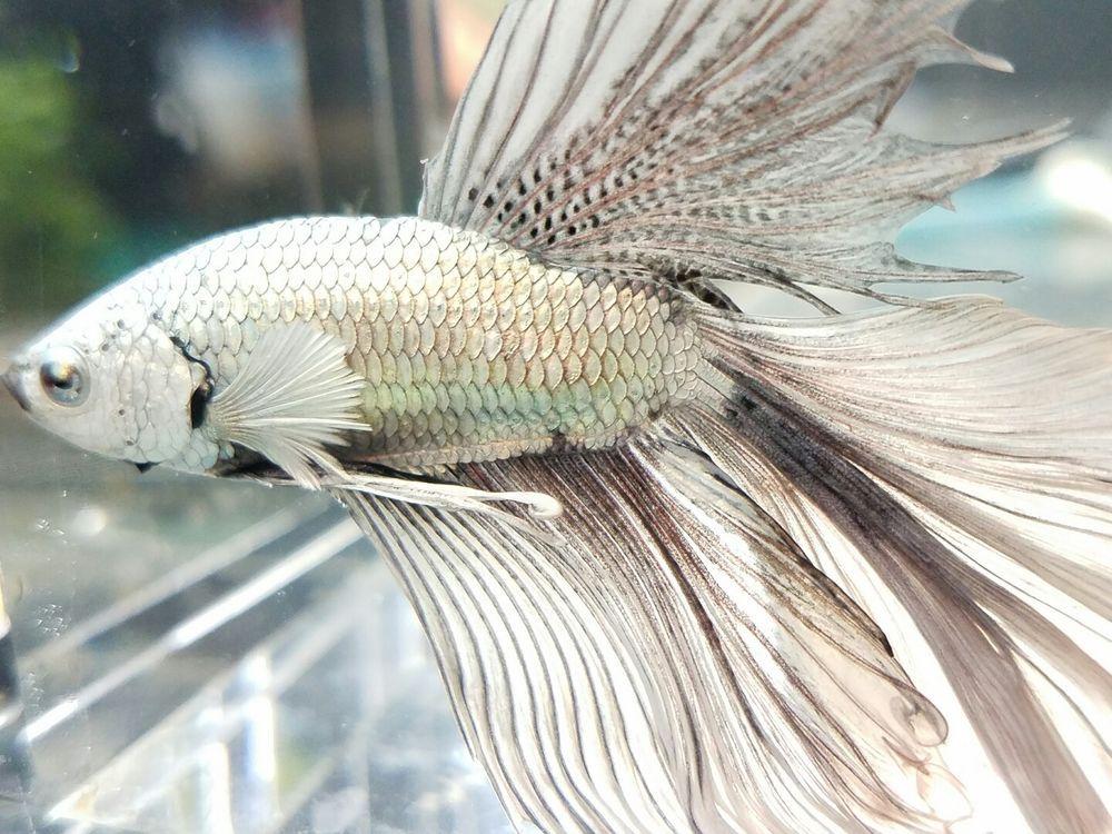 Wish was midget suckermouth catfish Foxxx
