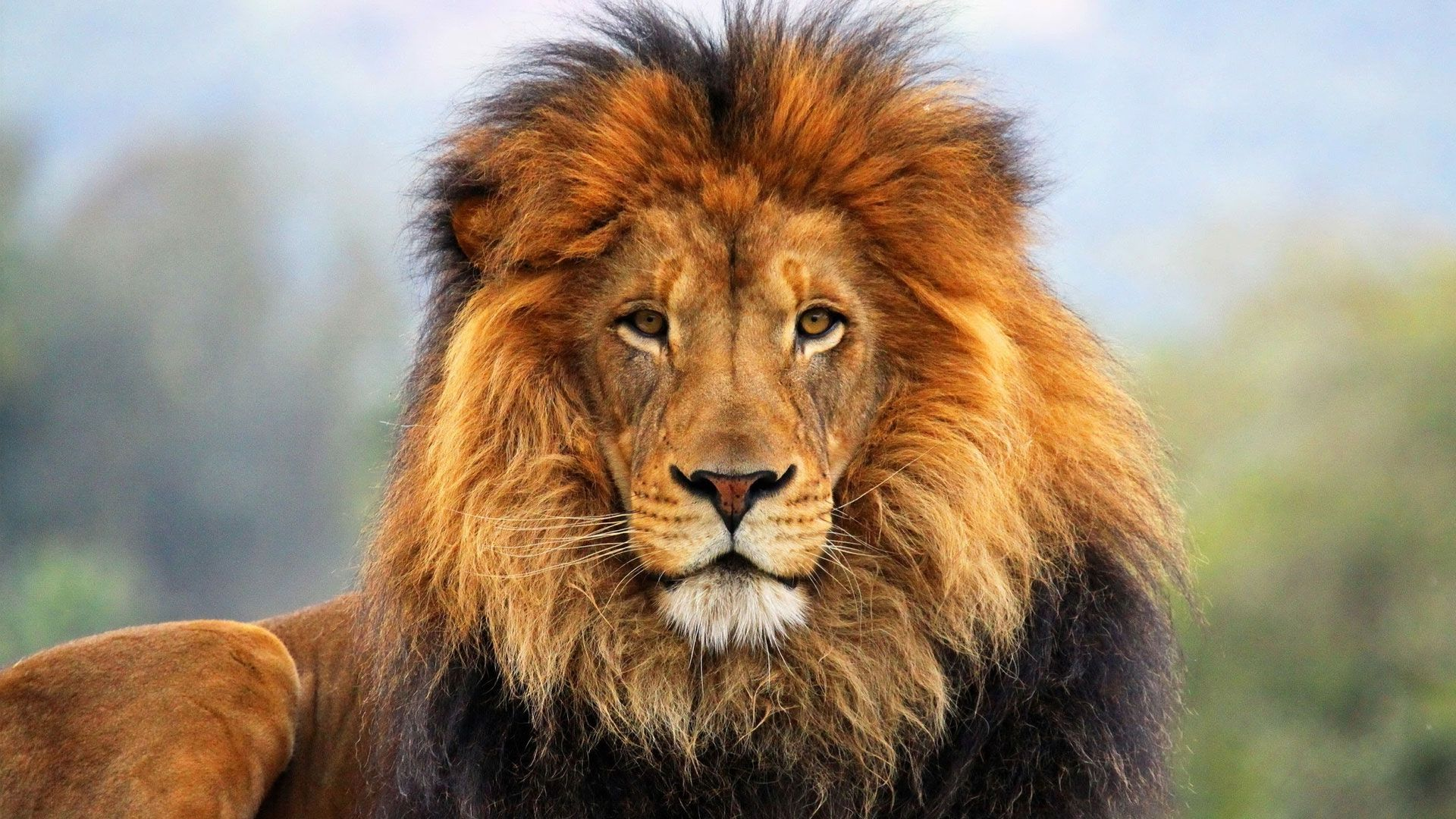 Lion Wallpaper Hd 1080p - Free Large Images