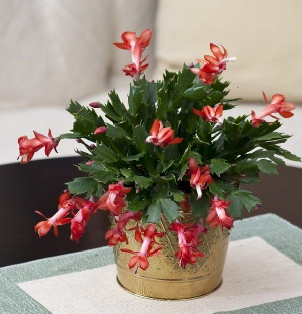 Large Christmas Cactus In Gold Bucket Succulents Amp Best Fashion Style Galleries