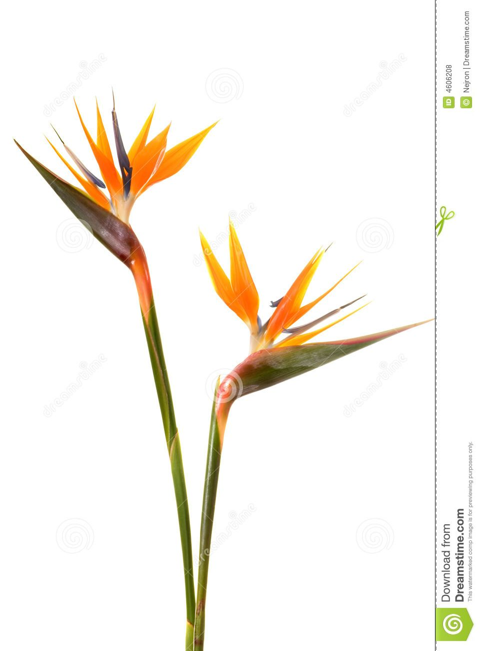 Bird Of Paradise Flower Bird Of Paradise Tattoo Birds Of Paradise Flower Birds Of Paradise