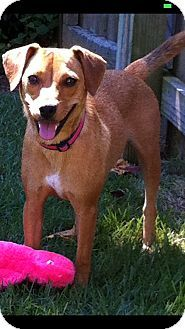Cranford Nj Rat Terrier Beagle Mix Meet Mollie A Dog For