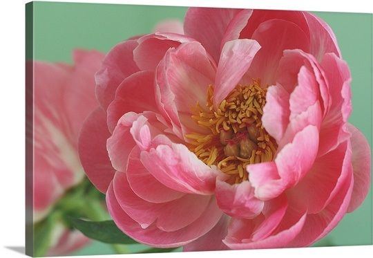 Blooming pink peony with tight crop and green background | Green ...