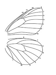 Side View Butterfly Wings Drawing Google Search Wings Drawing Butterfly Wings Wings