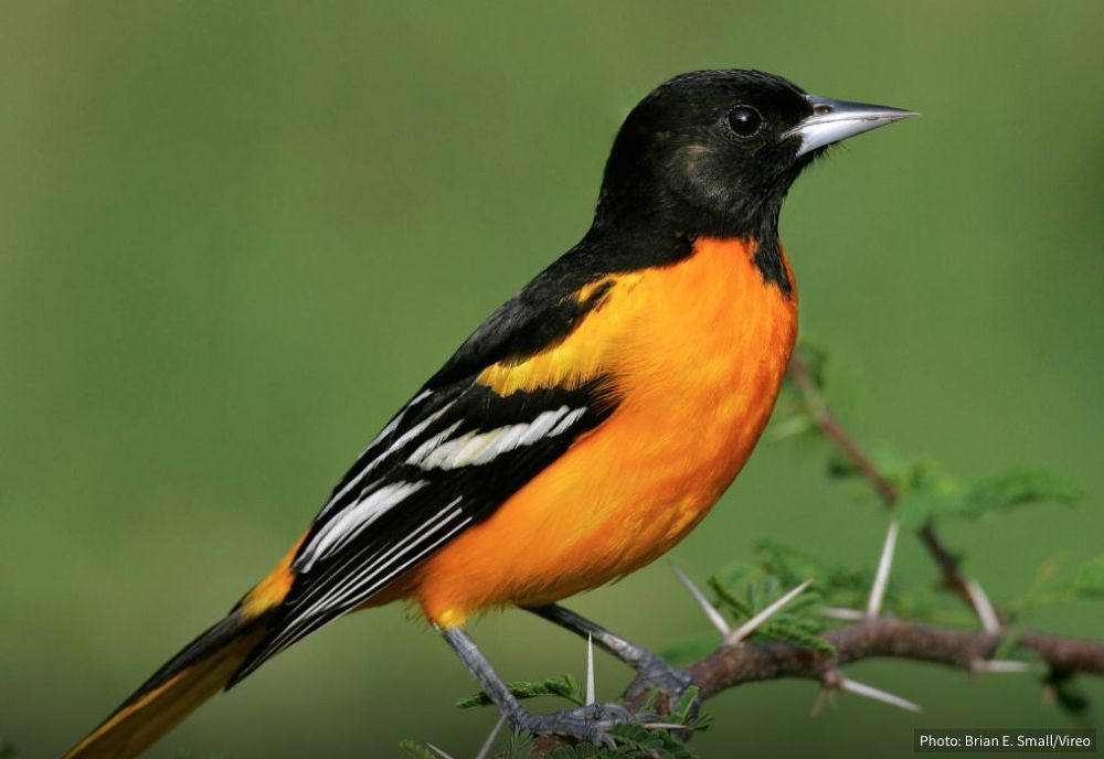 8 tips to attract orioles to your yard oriole bird