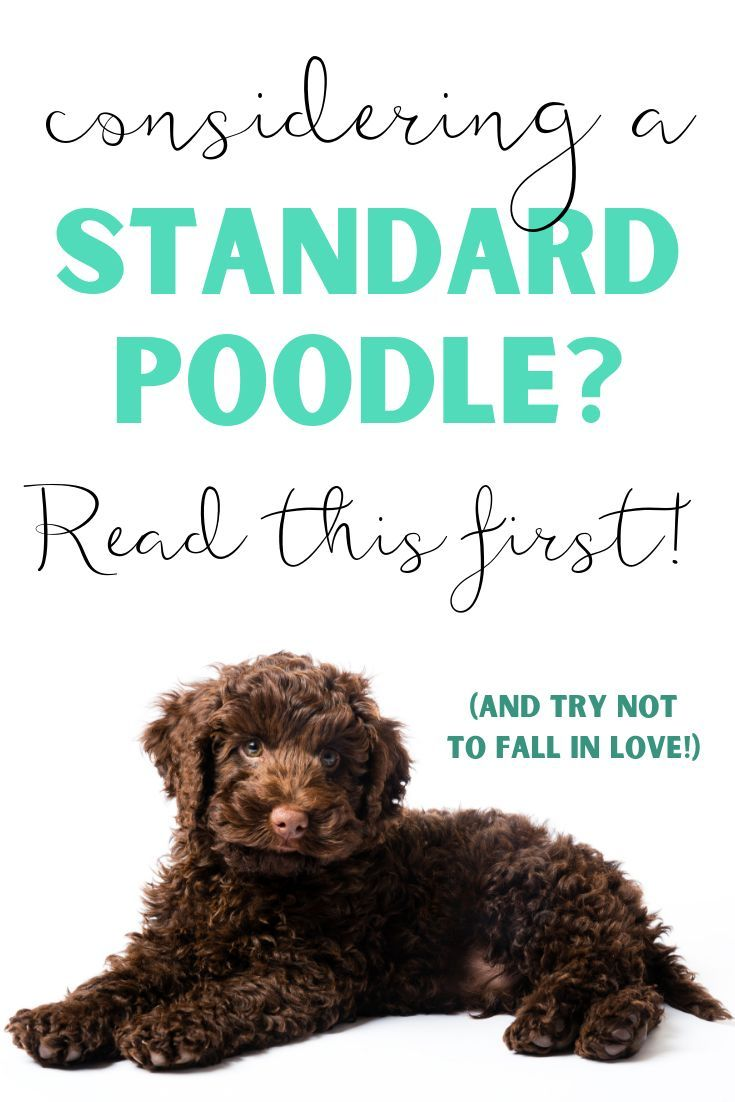 Are you considering getting a standard poodle puppy?  Read this first!  One family's experience raising a standard poodle.  Family with little kids - newborn infant toddler child.  Why standard poodles make the best family pets.  Talk about grooming, costs, personality, trainability, temperament, obedience.  Standard poodles are easy to train, quick to learn and please their owners.  #buyingastandardpoodle #costforastandardpoodle #howtotakecareofastandardpoodle #standardpoodlepuppy