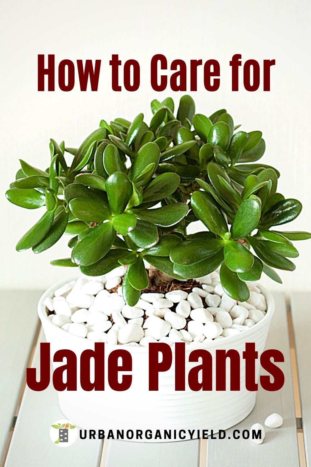 How To Prune And Care For Succulents Jade Plants Jade Plants Plants Air Plant Garden