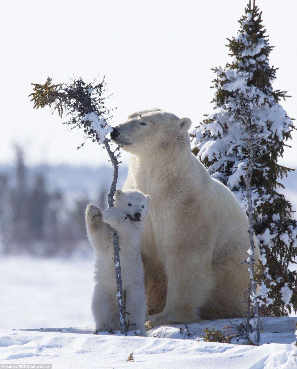 Heartwarming images of a Canadian polar bear and cubs