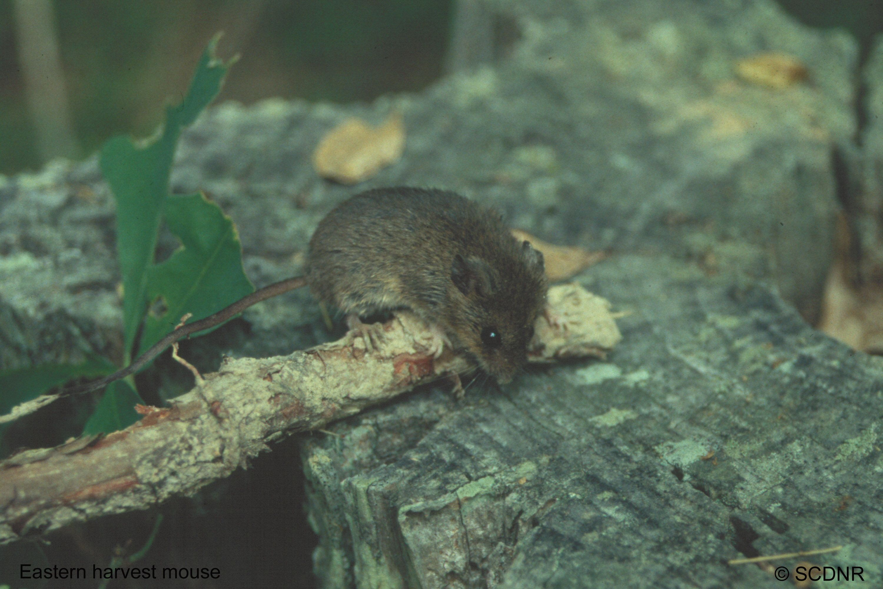 Here is a macro of an eastern harvest mouse. Thank you Clemson University Department of Forestry http://www.clemson.edu/cafls/departments/forestry/cef/cef_mammals.html