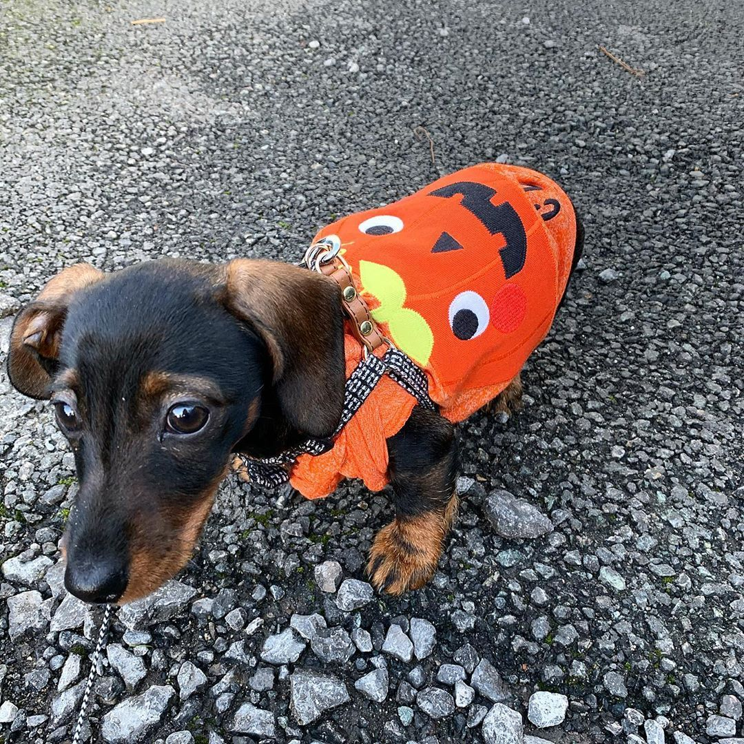 Dachshund Products, Apparel and Gifts Dry dog food, Dog