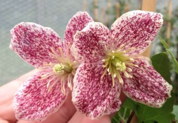 Winter flowering Clematis