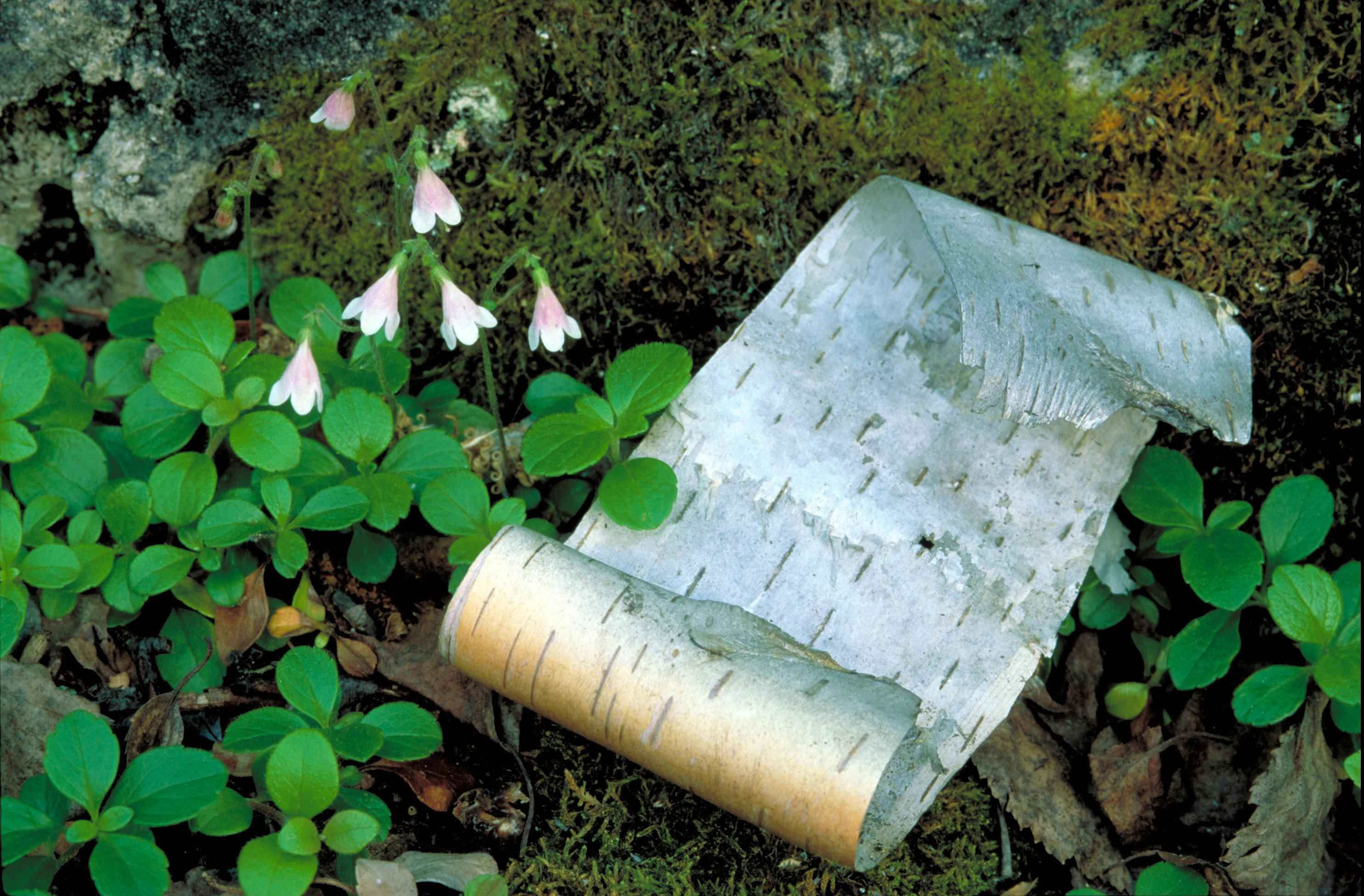 Tiny Nodding Pink And White Blossoms Growing In Moss And