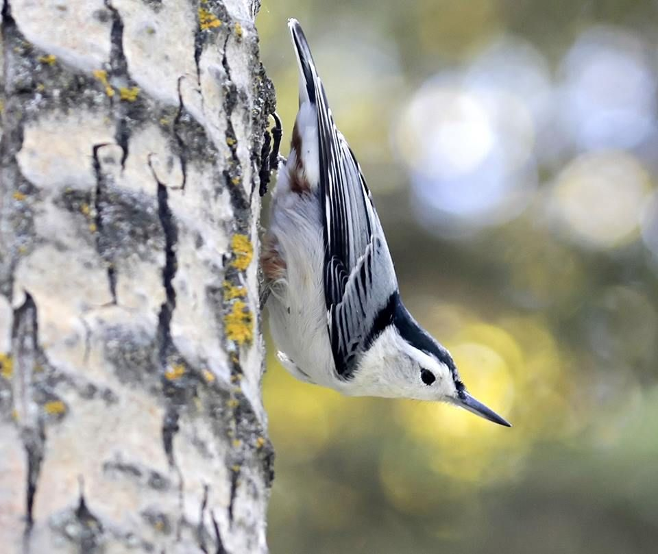 White-breasted nuthatch in Alberta, Canada. Photo by John Pizniur ...