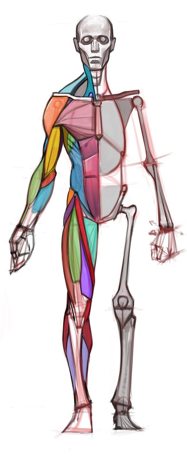 esquema sencillo para el dibujo de anatomia
