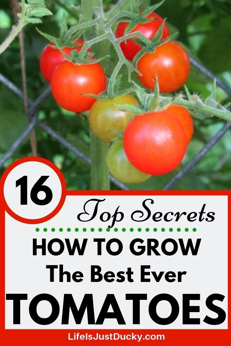 Faire Pousser Tomates En Pot how growing tomatoes #growing #tomatoes - wie tomaten