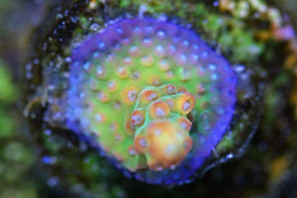 Rainbow Acropora Coral