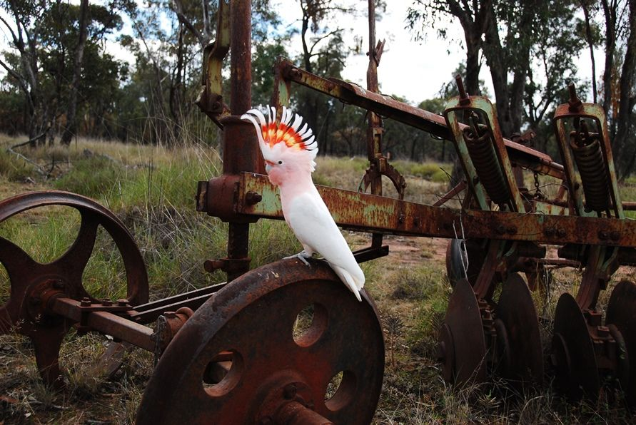 "Major Mitchell Cockatoo on old disc plow ""Matilda"" is a rescue that came to me when she was a baby only 3 weeks old. She is now 8 years old. Matilda free flys on a regular basis and is one of my favorite photo subjects"
