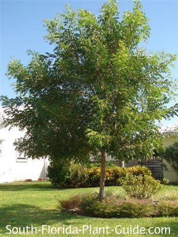 Mahogany Tree Fast Growing Shade Trees Trees For Front Yard
