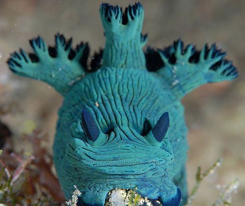 I think its pretty cool!!!! At first glance I thought this was the ugliest scrunchy-faced fish ever. It's really just a nudibranch, one of the most colorful and bizarre looking critters in the ocean (in my opinion).