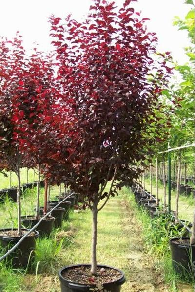 Krauter Vesuvius Flowering Cherry Plum Tree Trees For Front Yard Purple Leaf Plum Tree Garden Trees