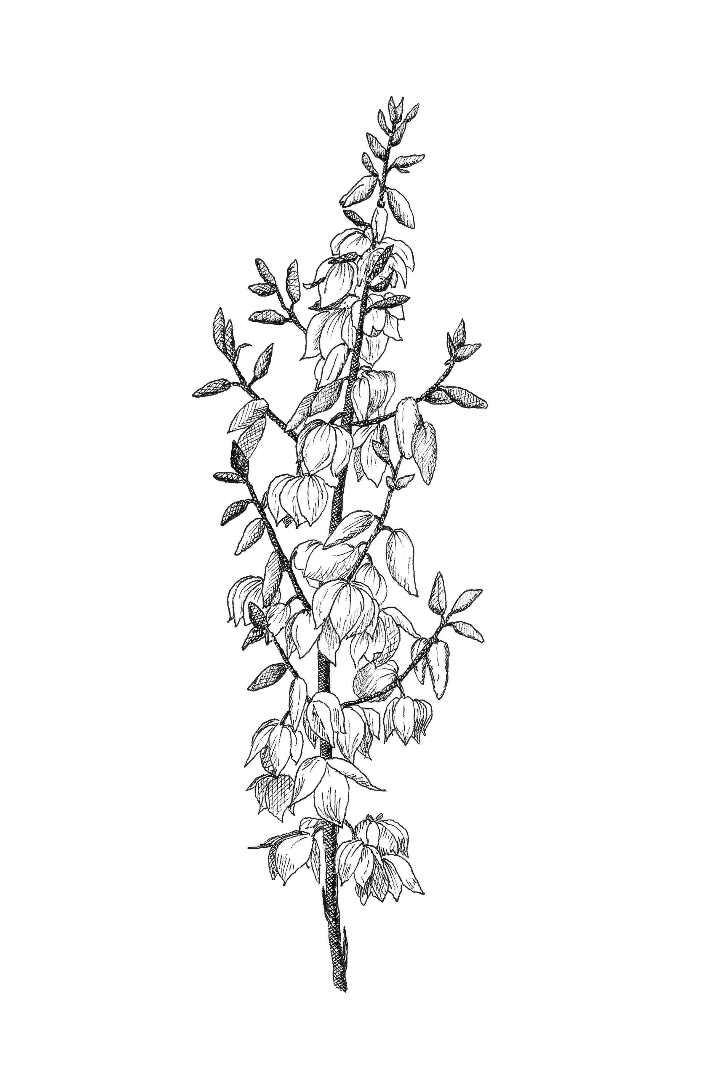 Yucca Flower Botanical Print Botanical Wall Art Black And White Yucca Printable New Mexico State Flower In 2020 Wildflower Tattoo Botanical Prints New Mexico Tattoo