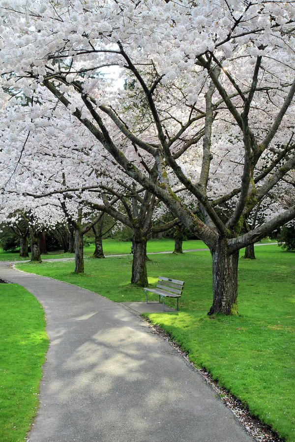 Cherry Blossoms In Stanley Park Vancouver By Pierre Leclerc Photography Stanley Park Vancouver Stanley Park Vancouver