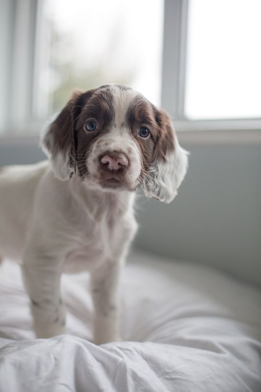 Pin By Matisse On 2020 In 2020 Springer Spaniel Puppies Spaniel Puppies English Springer Spaniel Puppy