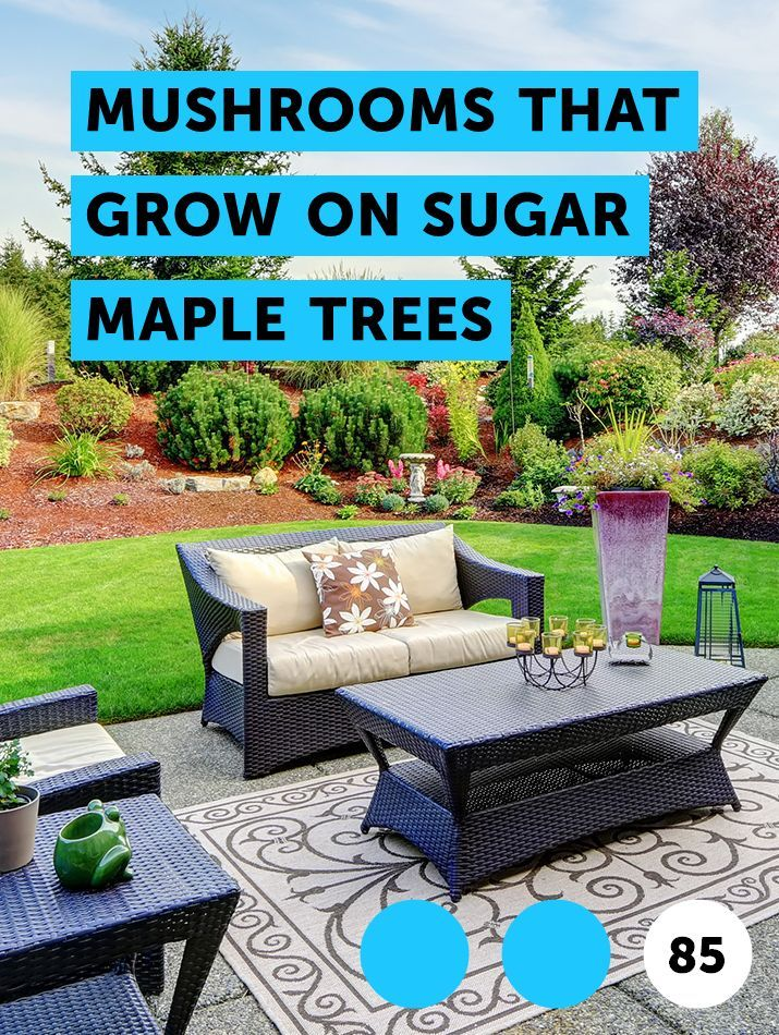 Mushrooms That Grow On Sugar Maple Trees Pests Weeds Problems Get Rid Of Ants Getting Rid Of Raccoons How To Remove Grass