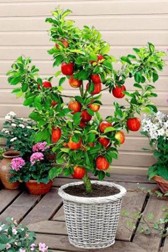 Miniature Honeycrisp Apple Tree Arbol De Manzana Cultivo De Arboles Frutales Arboles Para Macetas