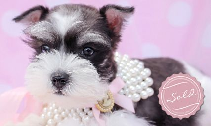 Miniature Schnauzer Puppy For Sale At Teacups Puppies And Boutique Schnauzer Puppy Teacup Puppies Miniature Schnauzer Puppies