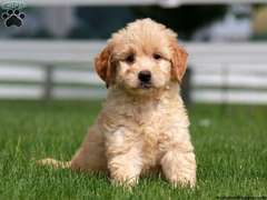 Gambler Mini Goldendoodle Puppy For Sale From Gordonville Pa