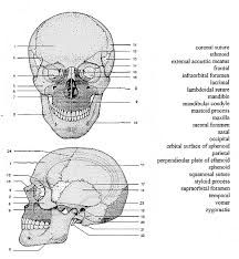 Bones And Skulls Printable Google Search Anatomy Coloring Book Skull Anatomy Anatomy Bones