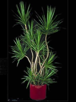 indoor plant dragon tree - Tall House Plants Low Light