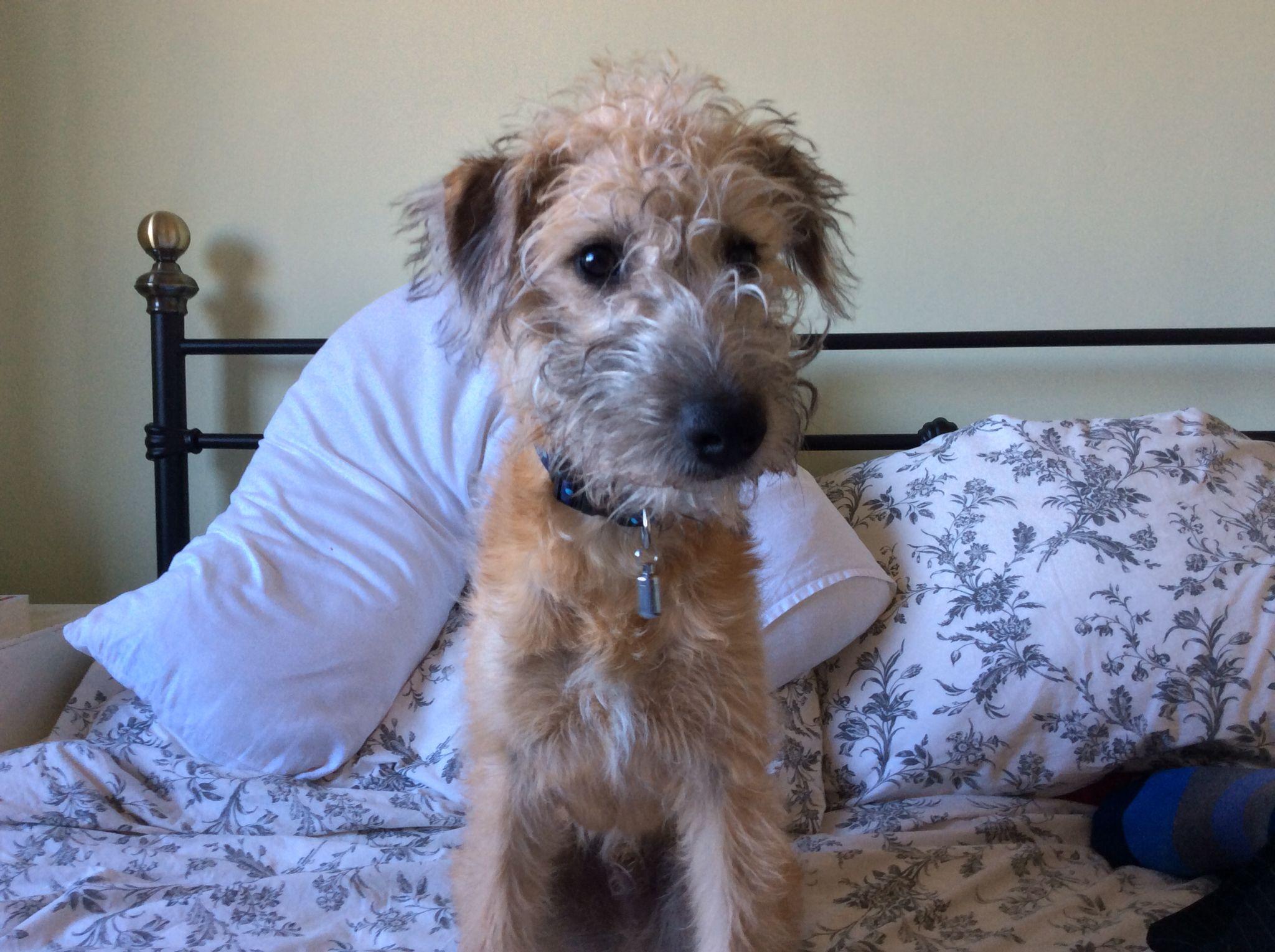 My Pup Bedlington Whippet First Cross X Bedlington Whippet