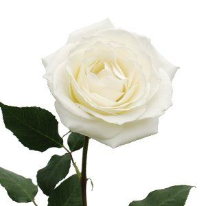 FiftyFlowers.com - Tineke White Wholesale Rose
