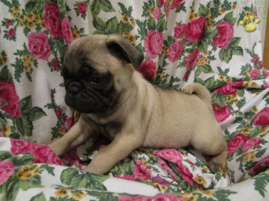 Jill Pug Puppy For Sale In Millerstown Pa Lancaster Puppies