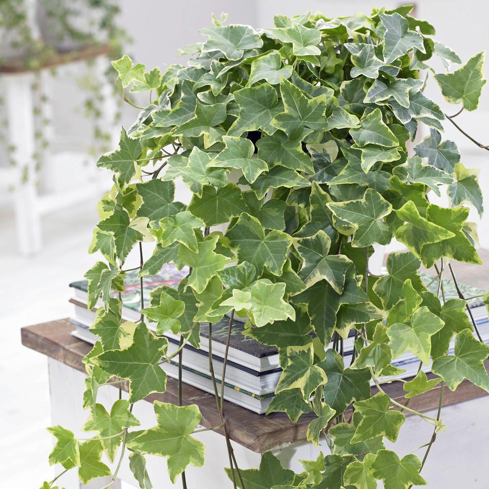 Zimmerefeu Der Efeu Furs Zimmer Zimmerpflanzen Pflanzen Efeu Pflanzen