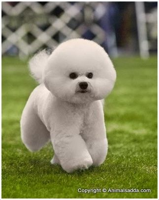 Bichon Frise - Puppies, Pictures, Rescue, Appearance, Facts