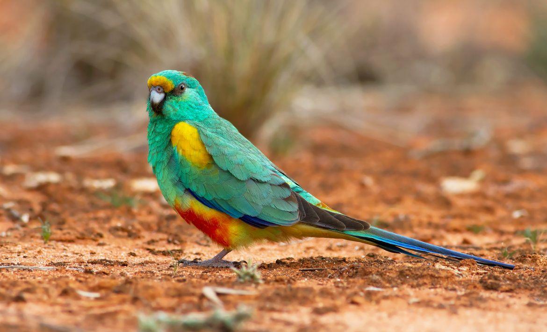 Mulga parrot - Wikipedia