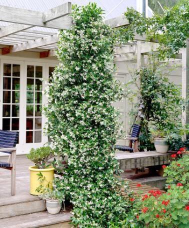 Star Jasmine (terrace) @?? ?? Baker for your trellis