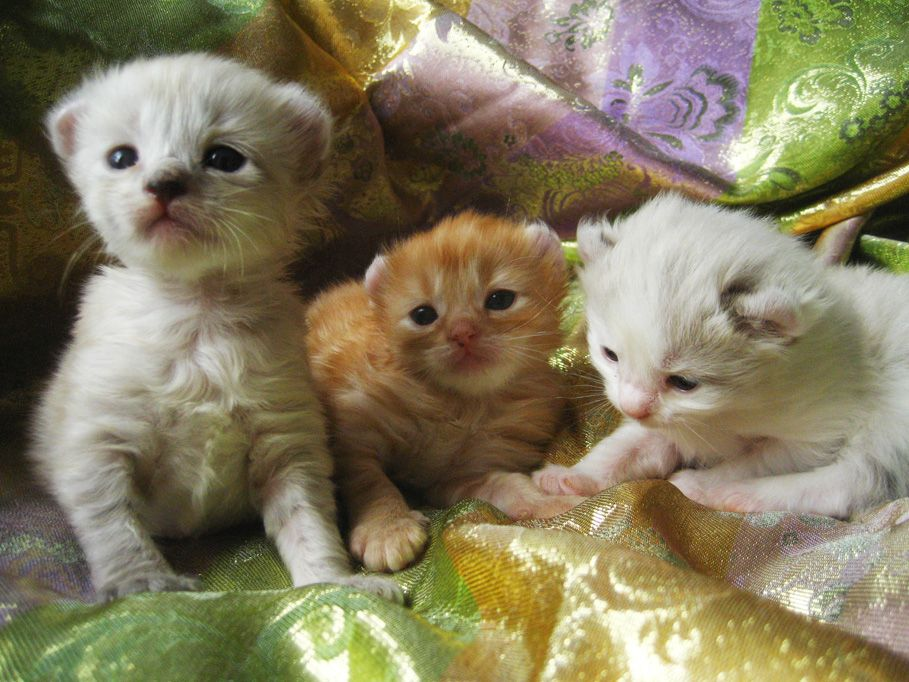 American Curl Kittens Available Kittens For Sale Or Adoption New