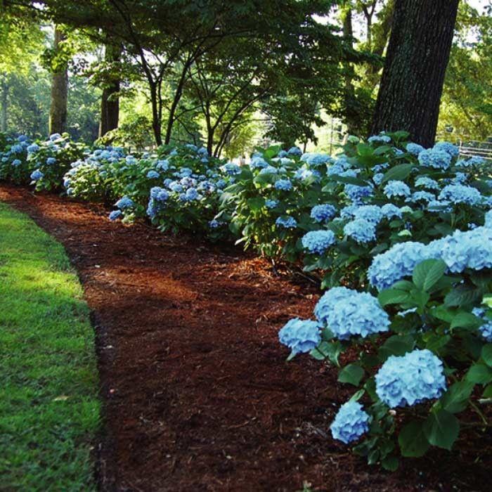 Gorgeous Blue Hydrangeas Beautiful Gardens Garden Landscape Design Garden