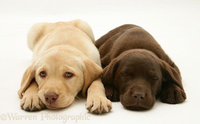 Yellow and Chocolate Retriever pups Labrador retriever
