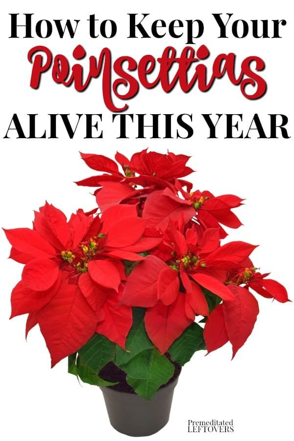 This Is How To Keep Your Poinsettia Plant Alive This Year Use These Gardening Tips To Care For Poinsettias Including In 2020 Poinsettia Plant Christmas Plants Plants