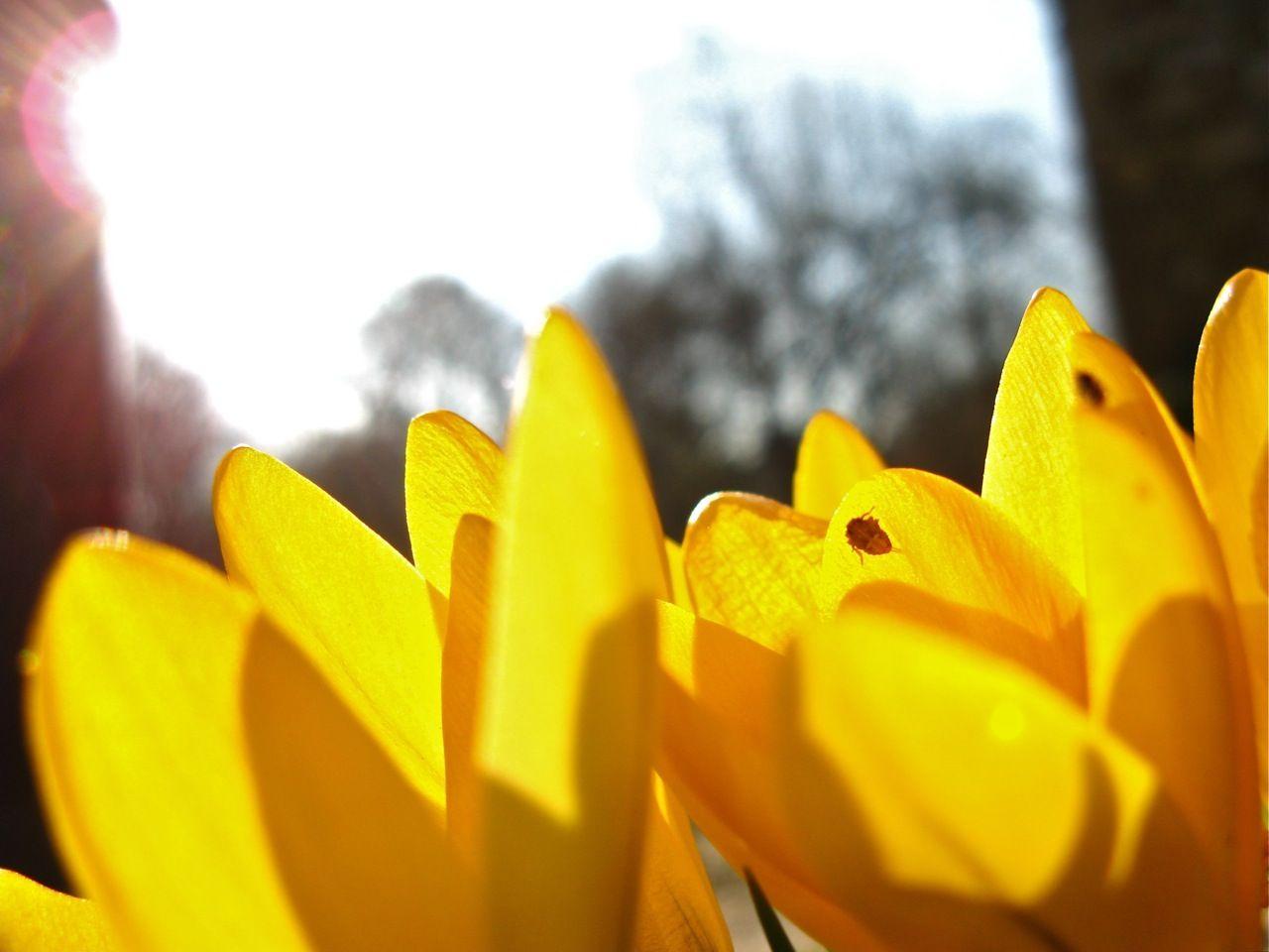 Yellow Spring #crocus #spring #yellow #petal #flower
