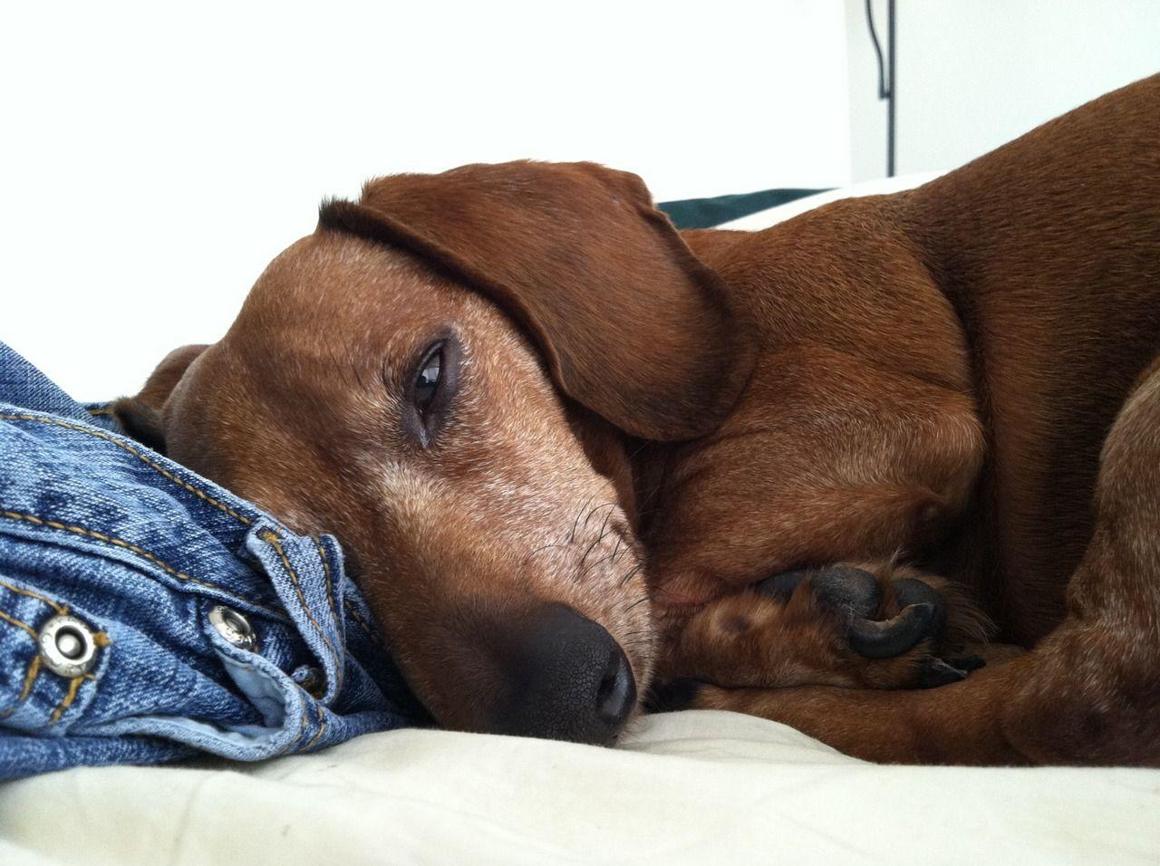 I Love Dachshunds Dachshund Wiener Dog Dachshund Lovers