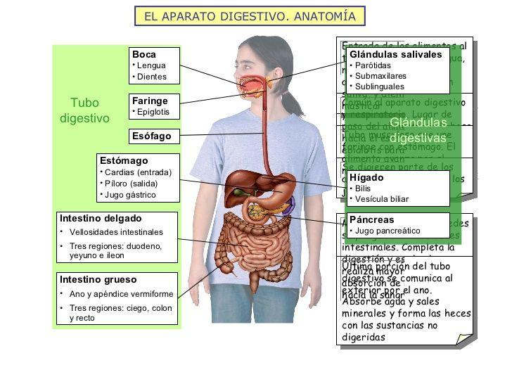 EL APARATO DIGESTIVO. ANATOMÍA Tubo digestivo Glándulas digestivas ...