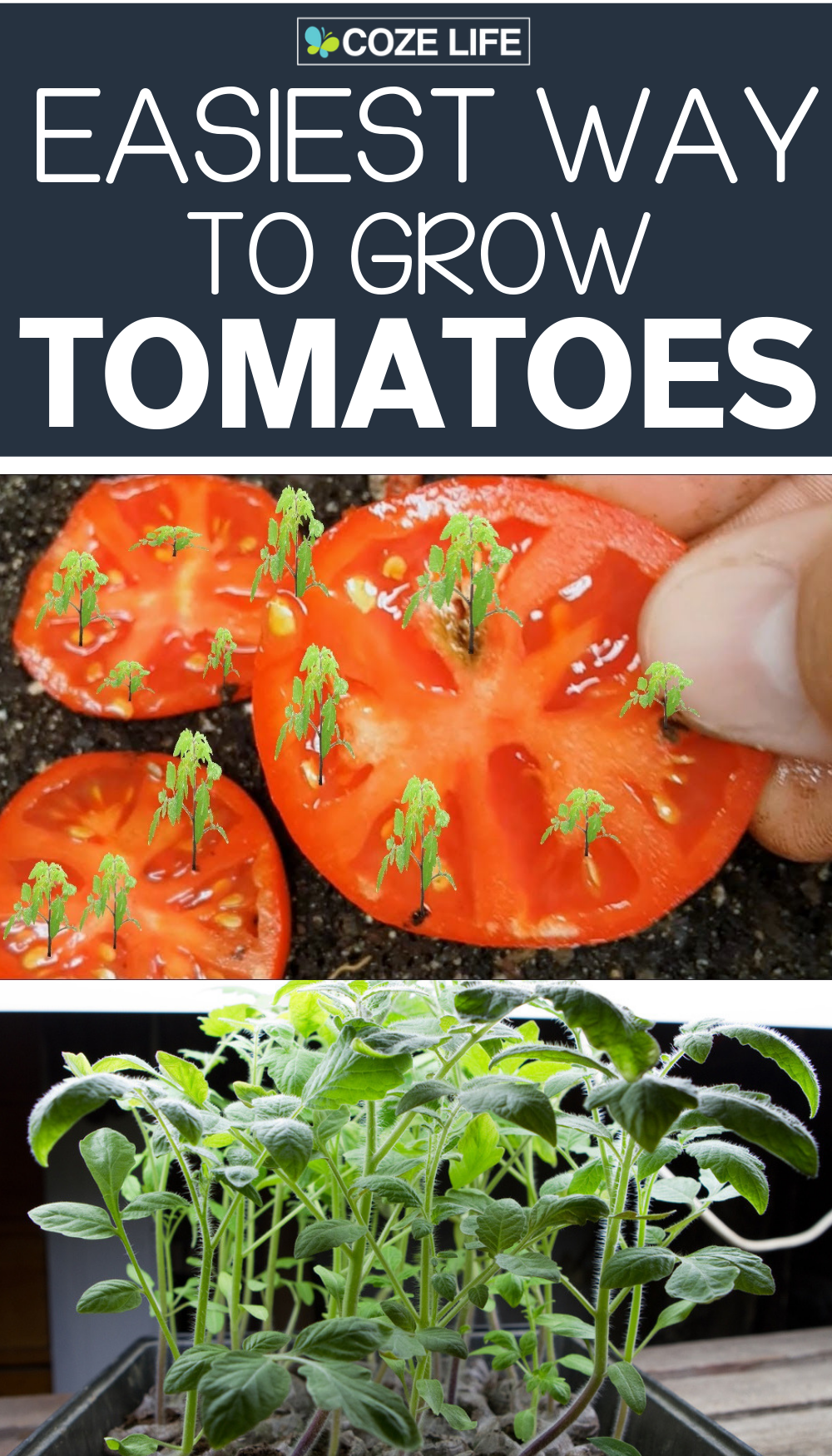 Easiest Way To Grow Tomatoes At Home Growing Tomatoes Tomato Seedlings Growing Vegetables