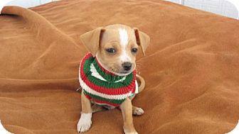Mesa, AZ Chihuahua Mix. Meet GODZILLA a Dog for Adoption
