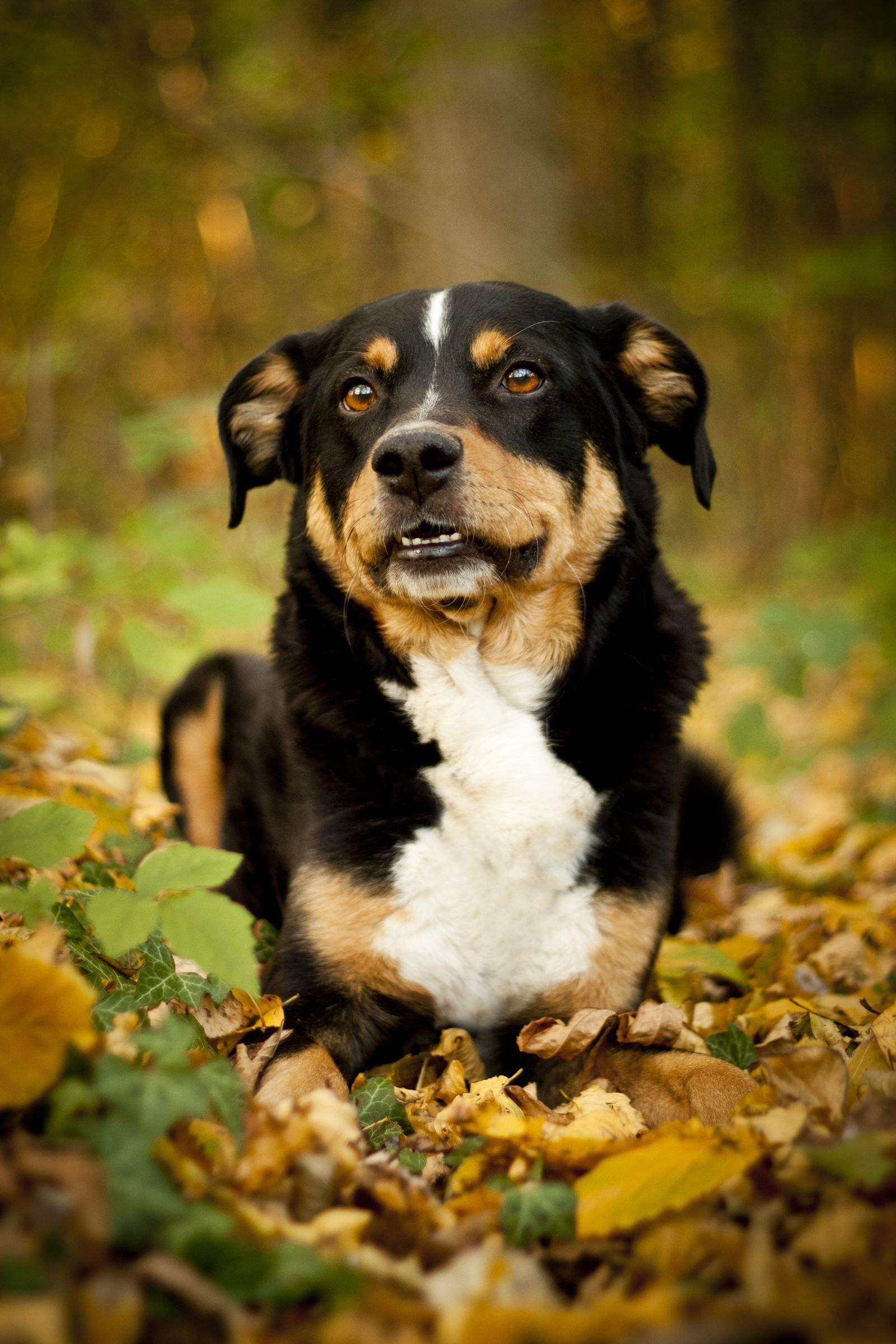 Appenzeller Sennenhundgoodhousemag Best Guard Dogs Guard Dogs