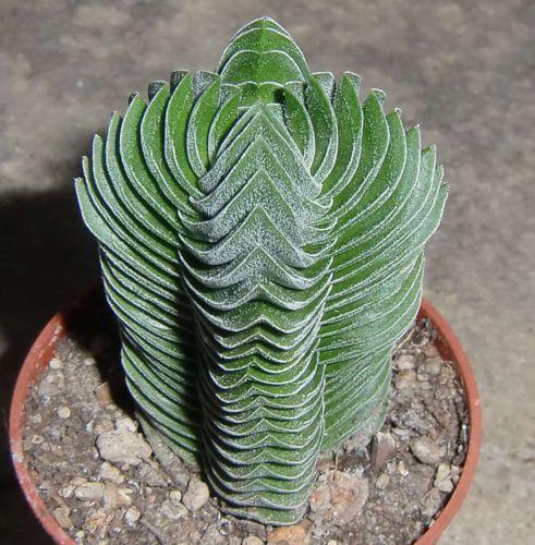 crassula cv buddha u0026 39 s temple 5 5cm rare succulent plant ariocarpus astrophytum c